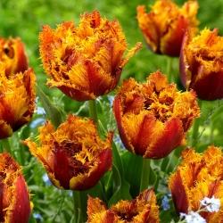 Tulipan Bastia - duża paczka! - 50 szt.