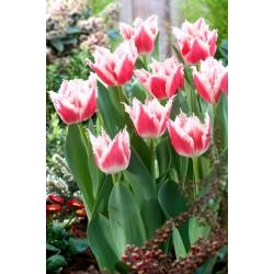 Tulipan Bell Song - duża paczka! - 50 szt.