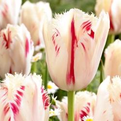 Tulipan Carrousel - duża paczka! - 50 szt.