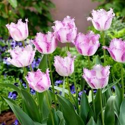Tulipan Aria Card - duża paczka! - 50 szt.