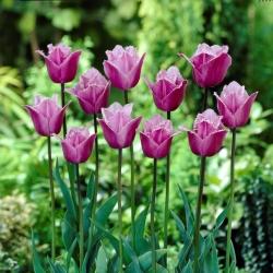 Tulipan Blue Heron - duża paczka! - 50 szt.