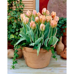 Tulipan China Town - duża paczka! - 50 szt.