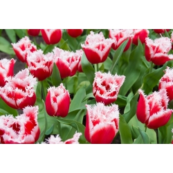 Tulipan Canasta - duża paczka! - 50 szt.