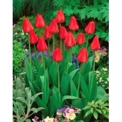 Tulipan Apeldorn - duża paczka! - 50 szt.