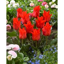 Tulipan Red Riding Hood - 5 cebulek