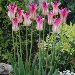 Tulipan Florosa - duża paczka! - 50 szt.