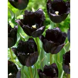 Tulipan Fringed Black - duża paczka! - 50 szt.