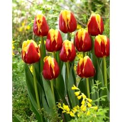 Tulipan Denmark - duża paczka! - 50 szt.