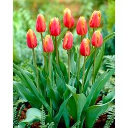 Tulipan Lambada - duża paczka! - 50 szt.