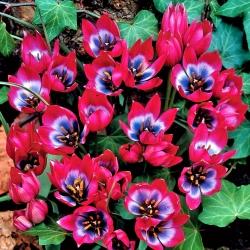 Tulipan Little Beauty - duża paczka! - 50 szt.