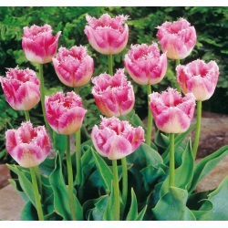 Tulipan Fancy Frills - duża paczka! - 50 szt.