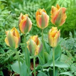 Tulipan Golden Artist - duża paczka! - 50 szt.