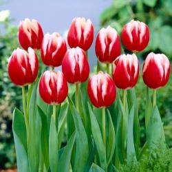 Tulipan Leen van der Mark - duża paczka! - 50 szt.