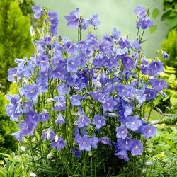 Dzwonek brzoskwiniolistny - niebieski