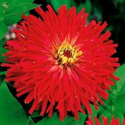 Cynia wytworna chryzantemowa - czerwona