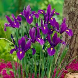 Irys holenderski - Purple Sensation - GIGA paczka! - 500 szt.