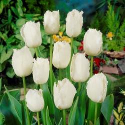 Tulipan Swan Wings - duża paczka! - 50 szt.