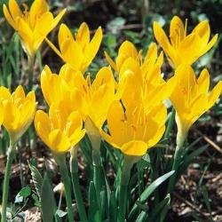 Sternbergia - Żółty zimowit - GIGA paczka! - 50 szt.