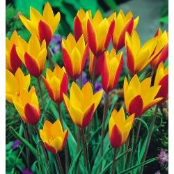 Tulipan botaniczny - Cynthia - GIGA paczka! - 250 szt.