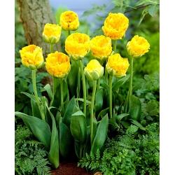 Tulipan lodowy - Beauty of Apeldorn - GIGA paczka! - 250 szt.