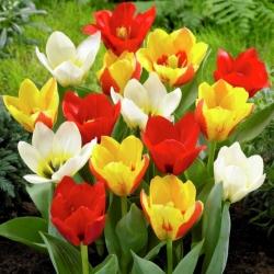 Tulipan botaniczny - niski - mix kolorów - GIGA paczka! - 250 szt.
