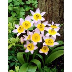 Tulipan Saxatilis - duża paczka! - 50 szt.