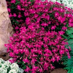 Lobelia przylądkowa różowa - Stroiczka