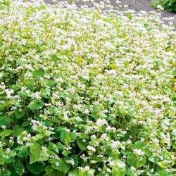 Gryka zwyczajna ekologiczna - roślina miododajna - 100 gram