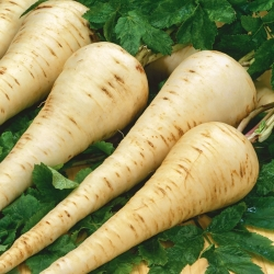 Pasternak Dlouhy Bily - 100 gram - nasiona profesjonalne dla każdego