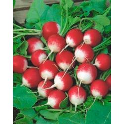 Rzodkiewka Poloneza - korzeniowa - 100 gram - nasiona profesjonalne dla każdego