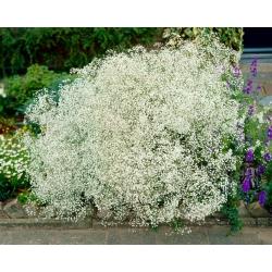 Gipsówka biała - Gypsophila - sadzonka