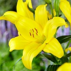 Lilia drzewiasta - Żółta