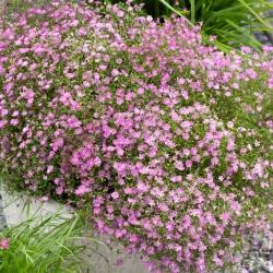 Gipsówka różowa - Gypsophila - sadzonka