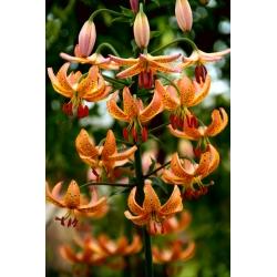 Lilia złotogłów pomarańczowa - Orange