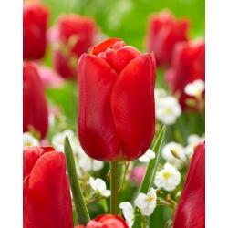 Tulipan Red Jimmy - 5 szt.
