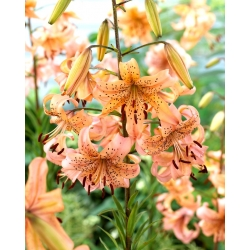 Lilia tygrysia - Pink Giant