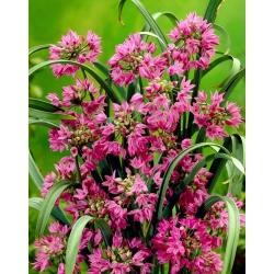 Czosnek kazachstański, czosnek Ostrowskiego - Allium oreophilum - 20 cebulek