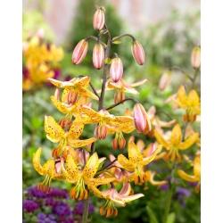 Lilia złotogłów żółta - Lilia martagon Yellow - 1 cebula