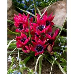 Tulipan Little Beauty - GIGA paczka! - 250 szt.