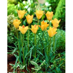 Tulipan Batalinii Bronze Charm - duża paczka! - 50 szt.
