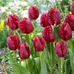 Tulipan Pioneer - duża paczka! - 50 szt.