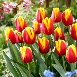 Tulipan Andre Citroen - 5 szt.