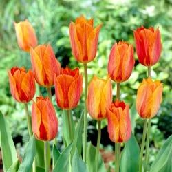 Tulipan El Nino - duża paczka! - 50 szt.
