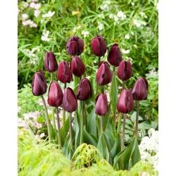 Tulipan Black Bean - 5 szt.