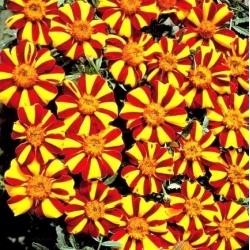 Aksamitka rozpierzchła dwubarwna - Mr Majestic - 105 nasion