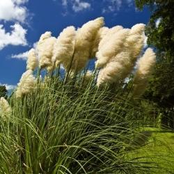 Trawa pampasowa - biała - 156 nasion