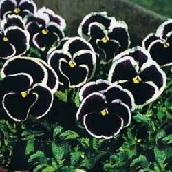 Bratek wielokwiatowy  (fioletowy) - 320 nasion