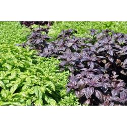 Bazylia - mieszanka odmian - 325 nasion