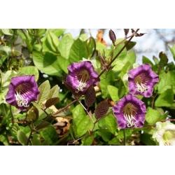 Kobea pnąca - fioletowa - 6 nasion