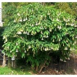 Bieluń drzewiasty - 5 nasion